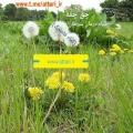 چق چقه گیاهی معجزگر برای درمان سرطان!
